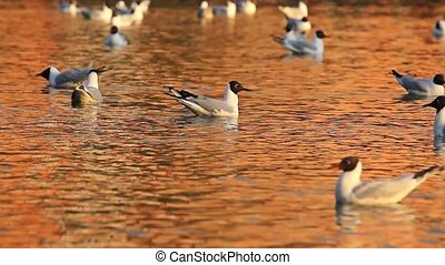 gulls floating on a lake in golden colors