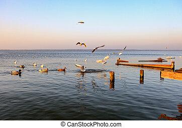 Gulls fly over the Steinhuder Meer or Lake Steinhude, Lower...