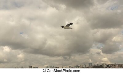 gulls flying in the gray sky - beautiful seagull soaring in...