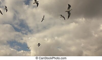 gulls flying in the gray sky - gulls soaring in the cloudy...