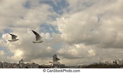 gulls flying in the gray sky - Seagull Flying in the Air and...