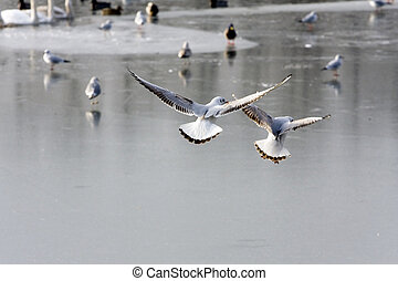 Gulls flying over frozen lake