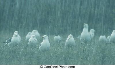 gulls in hard rain