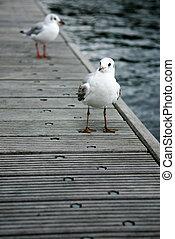 gulls on a footbridge