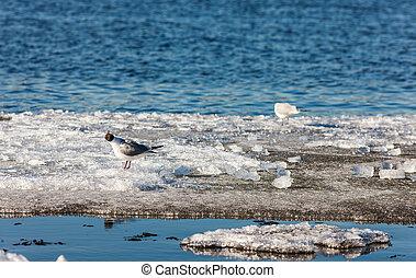 Gulls on melting ice floe