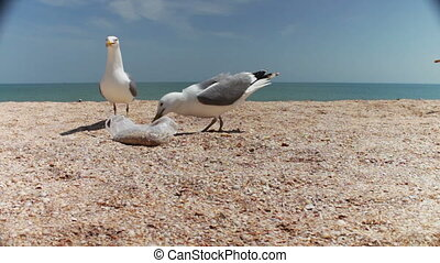 Gulls on the beach flock together for food, shouting at each other and eat bread