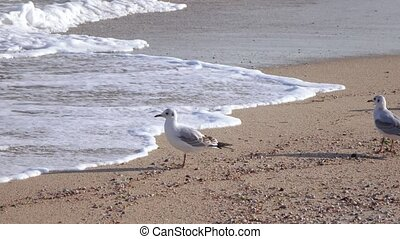 Gulls on the beach - In the surf gulls looking for food
