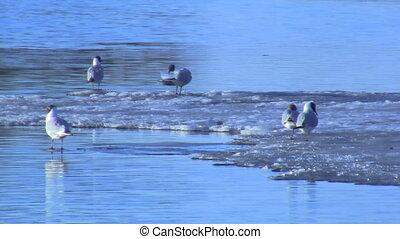 gulls on the ice