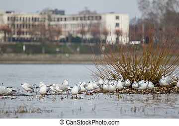 gulls on the rhine in cologne