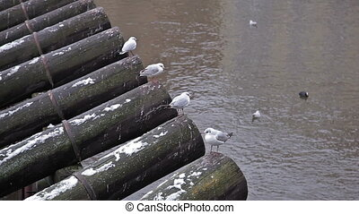 Gulls on the river