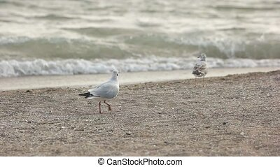 Gulls on the seashore. Bird taking off in slow-mo.