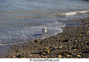Gulls on the shore with pebbles catch fish from the sea.