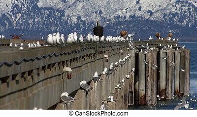 Gulls Wheeling Off Deepwater Dock - Sea gulls perching,...