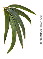 Gum leaves isolated on a white background. These are the delicate leaves of the eucalyptus nicolaii.