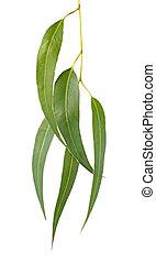Gum leaves, isolated on white. Eucalyptus tree leaves make a graceful design element.
