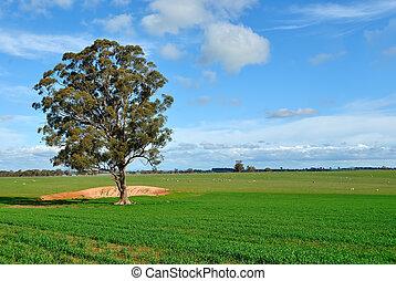 Gum tree in a paddock, on a farm in Victoria, Australia
