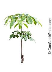 gummi träd, ung, isolerat