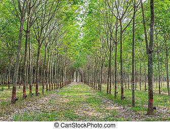 gummibaum, plantage