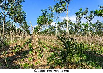 gummibaum, plantage, mit, reihen, von, bäume