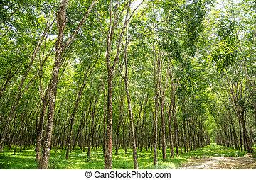 gummibaum, plantation.