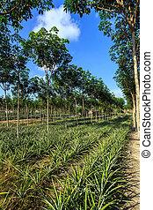 gummibaum, und, ananas, plantage