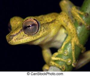 Gunther\\\'s banded treefrog (Hypsiboa - Male on a stem over...