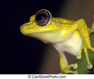 Gunther\\\'s banded treefrog (Hypsiboa - Male on a stem over...