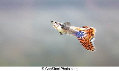 Guppy in freshwater aquarium. Poecilia reticulata.