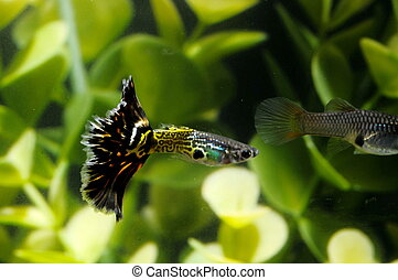 Guppy Multi Colored Fish in a Tropical Acquarium