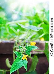 gurke, blume, gurke, pflanze, entwines, der, erhobenen bett