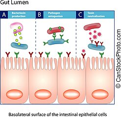 Gut lumen. Enterocytes, or intestinal absorptive cells. Small intestine. Columnar epithelial cells
