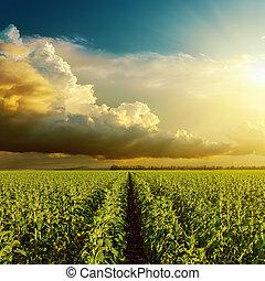 guten, sonnenuntergang, aus, feld, mit, grün, sonnenblume