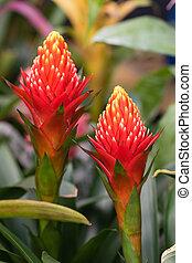 Guzmania Conifera. Guzmania is a genus of over 120 species of flowering plants in the family Bromeliaceae.