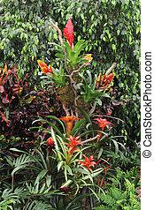 guzmania, conifera2