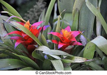 guzmania flowers