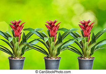guzmania, pflanze, blühen