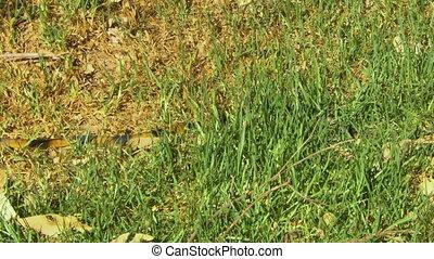 Gwardar snake concelaed in grass - Striped gwardar snake...