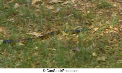 Gwardar snake slithering through short grass - Tracking show...