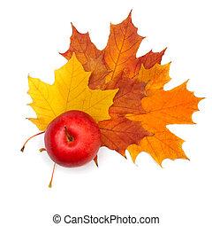 gyönyörű, ősz lap, alma, -, elszigetelt, dekoráció, juharfa, háttér, white piros