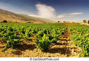 gyönyörű, buja, szőlő, szőlőskert