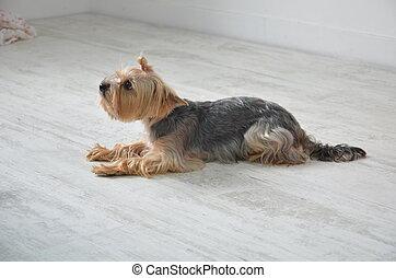 gyönyörű, film, purebred, fajta, kutya, yorkshire terrier