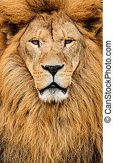 gyönyörű, hatalmas, oroszlán, afrikai, portré, hím