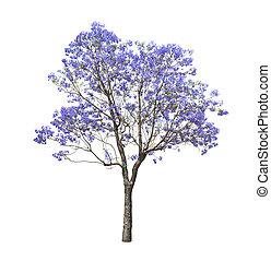 gyönyörű, jacaranda, fa, virágzó