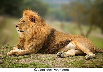 gyönyörű, oroszlán, állat, vad, portré, hím