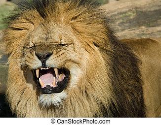 gyönyörű, oroszlán, hím