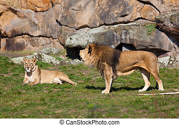 gyönyörű, oroszlán, oroszlán, portré