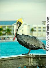 gyönyörű, pelikán