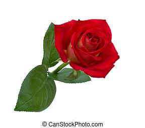 gyönyörű, rózsa, fényes, háttér, white piros