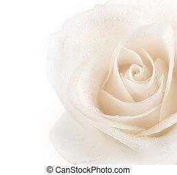 gyönyörű, rózsa, határ, lágy
