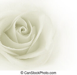 gyönyörű, rózsa, tintahal